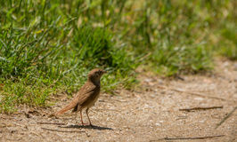 Nightingale with caterpillar Stock Photo