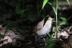 Nightingale in dark forest Stock Photo