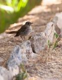 Nightingale del bambino Fotografia Stock