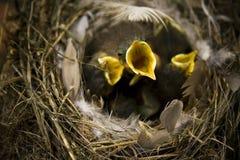 Nightingale Stock Photography