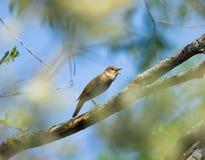 Nightingale di tordo Immagine Stock