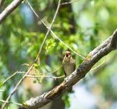 Nightingale di tordo Fotografie Stock Libere da Diritti