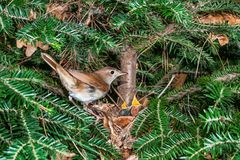Nightingale feeding chicks in the nest Royalty Free Stock Images