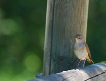 Nightingale on fence Stock Image