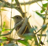 Nightingale in the forest Royalty Free Stock Photography