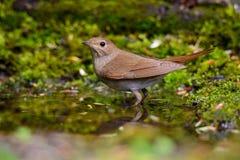 Nightingale Stock Photos