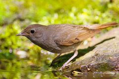 Nightingale Royalty Free Stock Images
