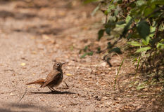 Nightingale on the ground Stock Images