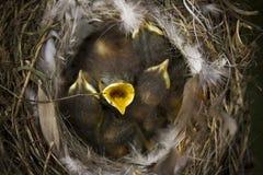 Nightingale Stock Photo