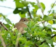 Nightingale Hidden Royalty Free Stock Photo