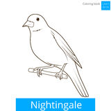 Nightingale learn birds coloring book vector Stock Image