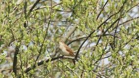 Nightingale (Luscinia megarhynchos) singing stock footage