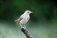 Nightingale, Luscinia megarhynchos Stock Photography
