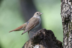 Nightingale, Luscinia megarhynchos Stock Photography