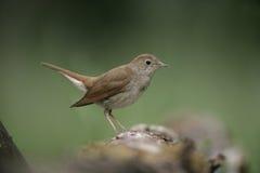 Nightingale, Luscinia megarhynchos, Royalty Free Stock Photo