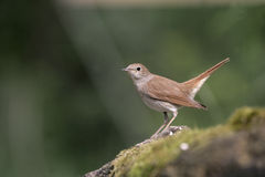 Nightingale, Luscinia megarhynchos, Royalty Free Stock Photography