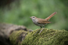 Nightingale, Luscinia megarhynchos, Royalty Free Stock Images