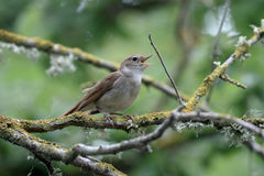 Nightingale, Luscinia megarhynchos Royalty Free Stock Image