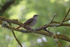 Nightingale, Luscinia megarhynchos Stock Photo