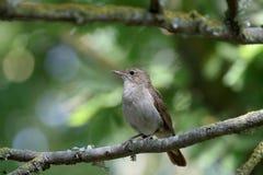 Nightingale, Luscinia megarhynchos Royalty Free Stock Photos