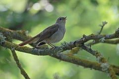 Nightingale, Luscinia megarhynchos Royalty Free Stock Photo