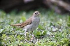 Nightingale, Luscinia megarhynchos Stock Image