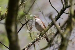 Nightingale, Luscinia megarhynchos Stock Photos
