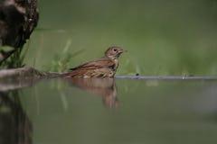 Nightingale, Luscinia megarhynchos, Stock Photography