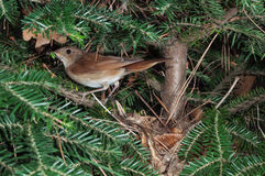 Nightingale at nest with insect prey Stock Photo