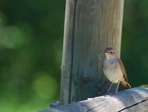 Free Nightingale On Fence Stock Image - 14798501