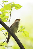 Nightingale sing loudly in spring forest Royalty Free Stock Images