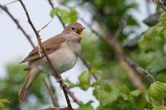 Nightingale singing Stock Photos