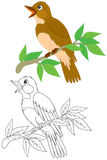 Nightingale. Singing nightingale perched on a branch, color and black-and-white outline illustrations on a white background Stock Images
