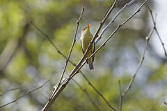 Nightingale sitting on branch Royalty Free Stock Photos