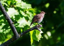 Nightingale, sprosser singing on the tree royalty free stock image