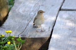Nightingale standing on duckboards Stock Photo