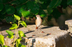 Nightingale in stone Stock Photography