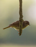 Nightingale on a vertical branch Stock Image