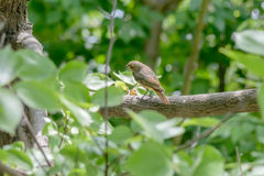 Nightingale in the Wood Royalty Free Stock Photo