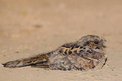 Nightjar Stock Image