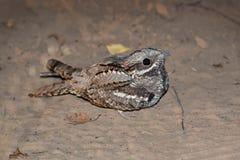 Nightjar europeo (europaeus del Caprimulgus) Foto de archivo