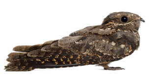 Nightjar europeo, o appena Nightjar fotografia stock