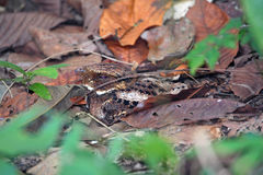Nightjar resting in daytime on rainforest ground, Panama Stock Photo
