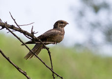 Nightjar sitting on a branch in the afternoon. Stock Images