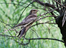 Nightjar sitting on a tree in the afternoon. Stock Images