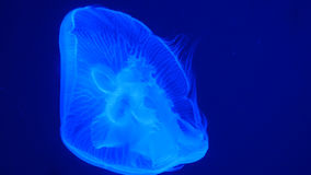Nightlights glowing beautiful moon jellyfish with blue light Stock Images