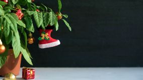 Nightshade Christmas tree with red Xmas boot, ball and gift box. Green pot plant Nightshade with berries and red Christmas. Decoration on dark background royalty free stock images