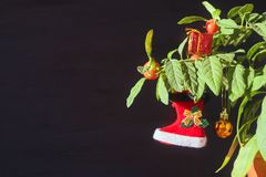 Nightshade Christmas tree with red Xmas boot, ball and gift box. Green pot plant Nightshade with berries and red Christmas. Decoration on dark background stock photography