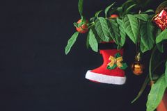 Nightshade Christmas tree with red Xmas boot, ball and gift box. Green pot plant Nightshade with berries and red Christmas. Decoration on dark background royalty free stock image