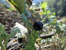 Nightshade mortal, baya de la belladona, foto de archivo